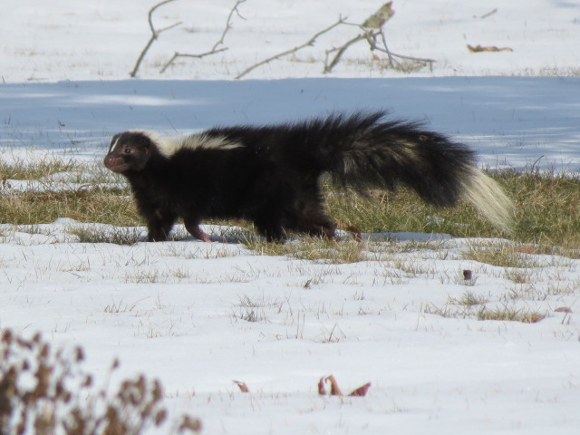 Skunk checking things out!