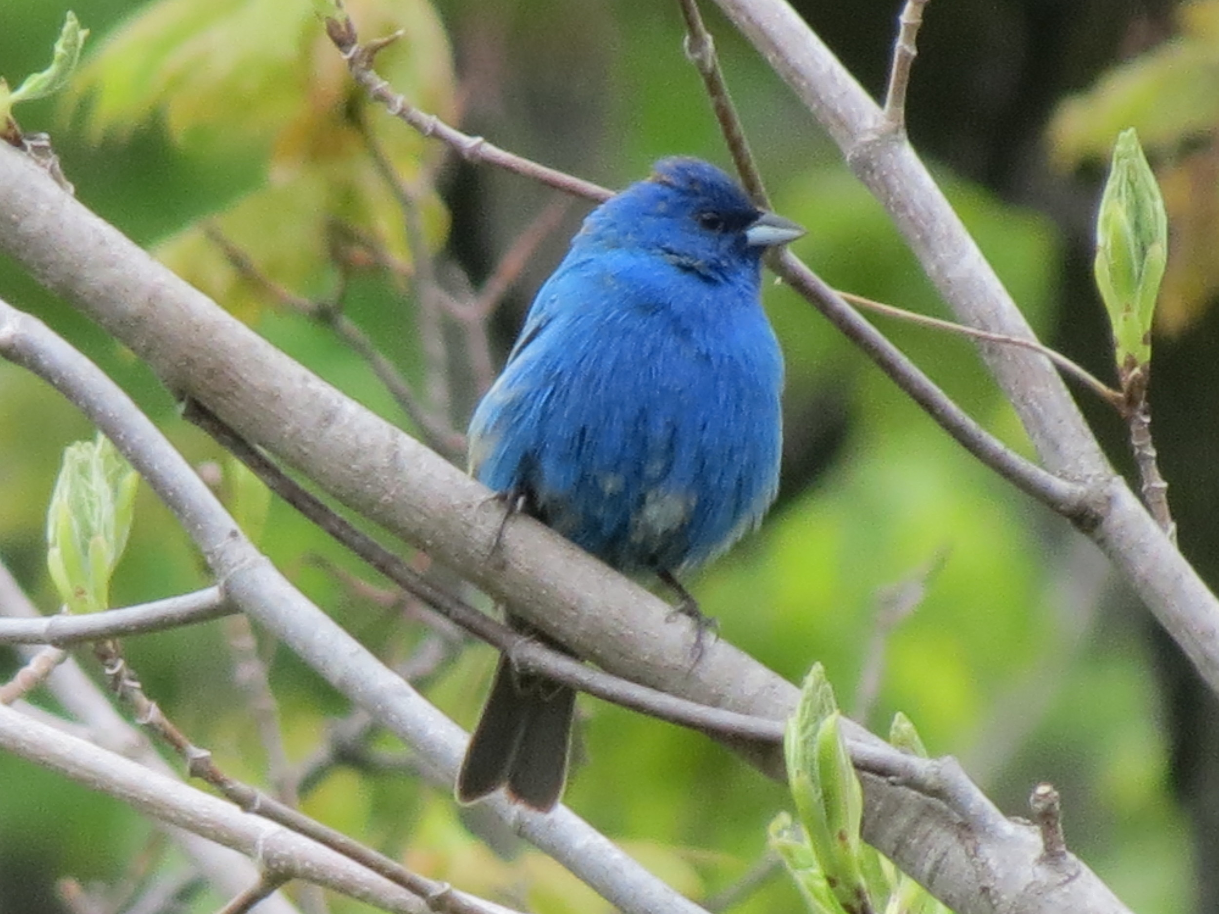 Lovely blue of the Indigo Bunting against the beautiful green!
