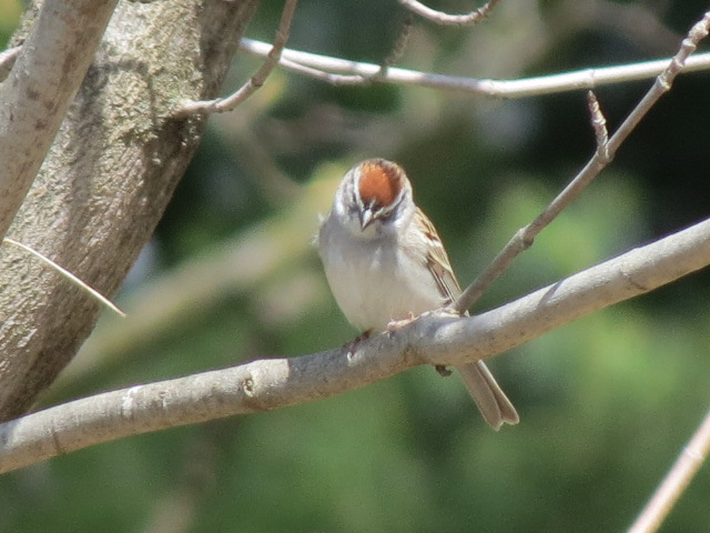 Cute Chipping Sparrow arrived a few days before the White-throated Sparrows