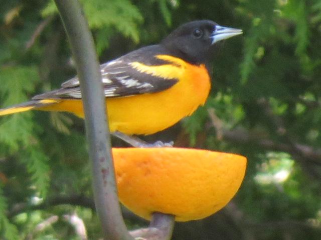 Male Baltimore Oriole lovin' an orange!