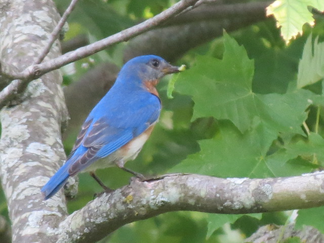 Here comes lunch thanks to Papa Eastern Bluebird!!
