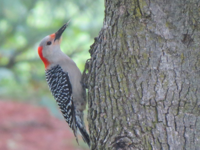 Female Red-bellied Woodpecker at a nearby tree