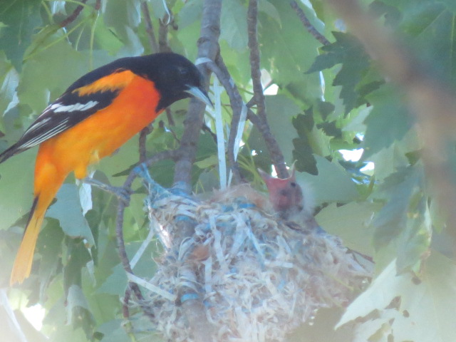 """""""Pop"""" Baltimore Oriole checking on the nest!!"""