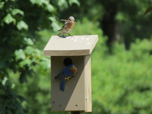 Male Eastern Bluebird at the entrance, Female on rooftop