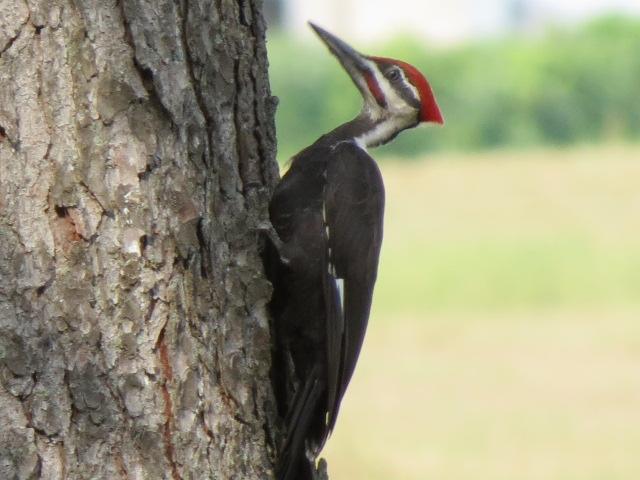 Beautiful Pileated Woodpecker!!