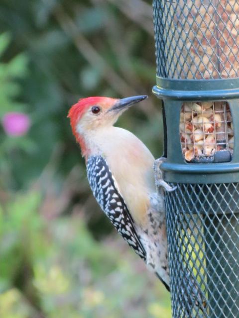 Red-bellied Woodpecker enjoying the Squirrel Buster peanut feeder!