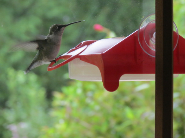 Ruby-throated Hummingbird at our Window Nectar Feeder ~ The view from inside!