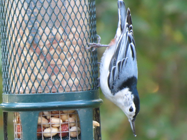 Adorable White-breasted Nuthatch loving our peanut feeder a few days ago!!