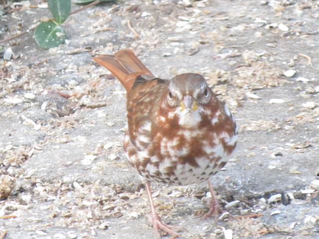 Beautiful Fox Sparrow