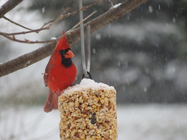 Male Cardinal enjoying the Peanut Log!
