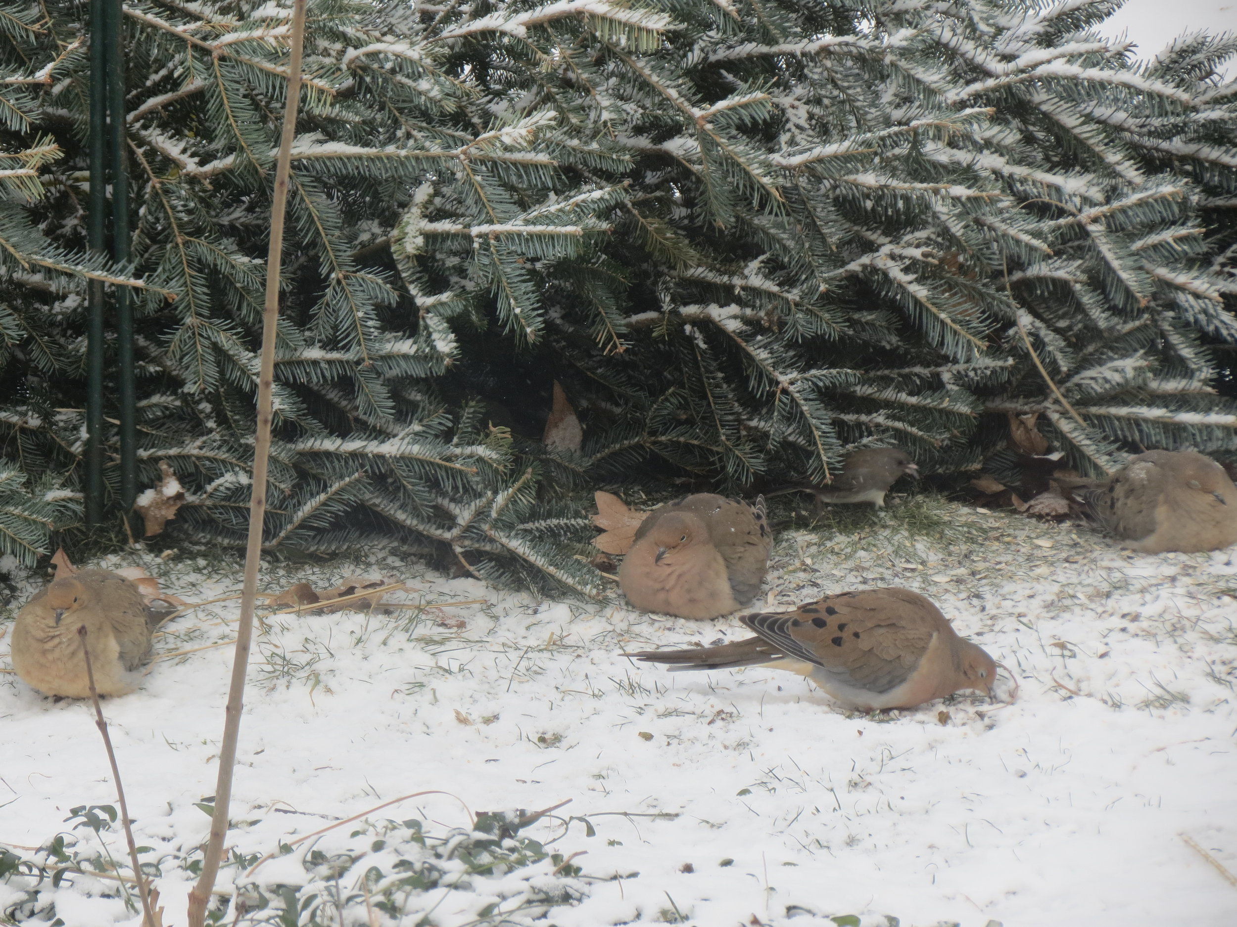 Mourning Doves enjoying protection from our tree that was placed near our feeders