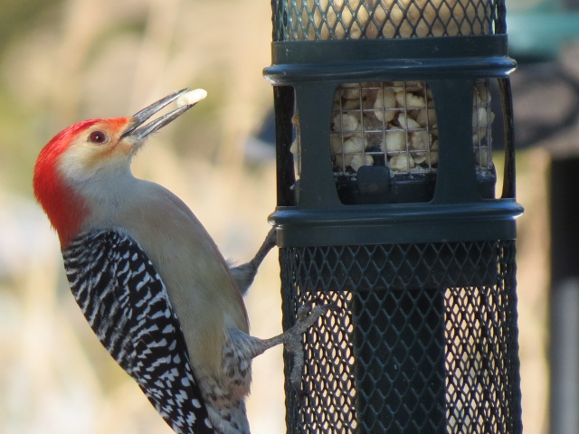 M ale Red-bellied Woodpecker on our Squirrel Buster a few days ago.
