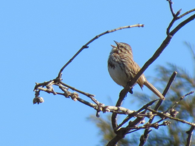 Song Sparrow belting out some great tunes ~ Happy April!