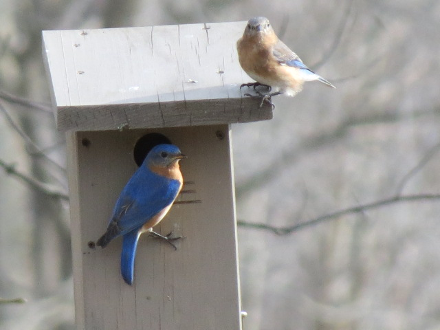 Lovely Eastern Bluebirds checking out a nesting site!