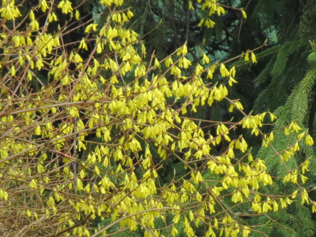 Forsythia is blooming....Time to apply the Corn Gluten!