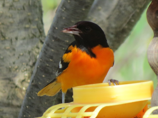 Baltimore Oriole from May 2016
