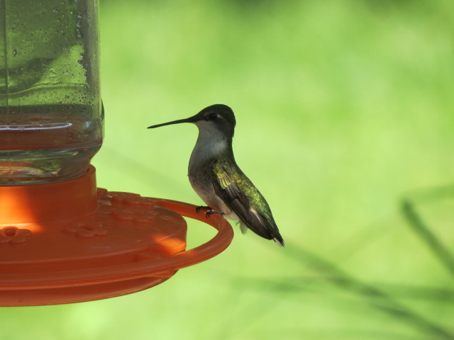 Ruby-throated Hummingbird from May 2016