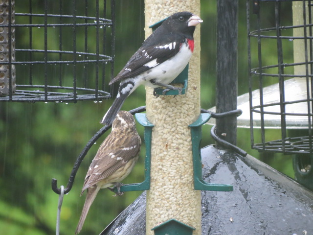 Female (brown tones) and Male Rose-breasted Grosbeaks just arrived!!