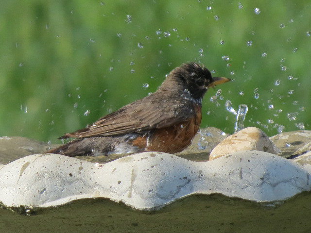 American Robin taking a splash shortly after fresh water added this morning!