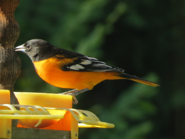 M Baltimore Oriole August 31 2017