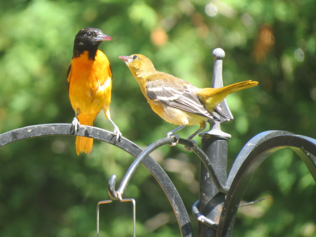 """POP"" Baltimore Oriole doing some teaching around the feeders July, 2017"