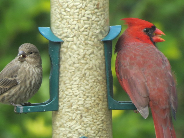 F House Finch & M Northern Cardinal at feeder filled with Safflower Seed!!