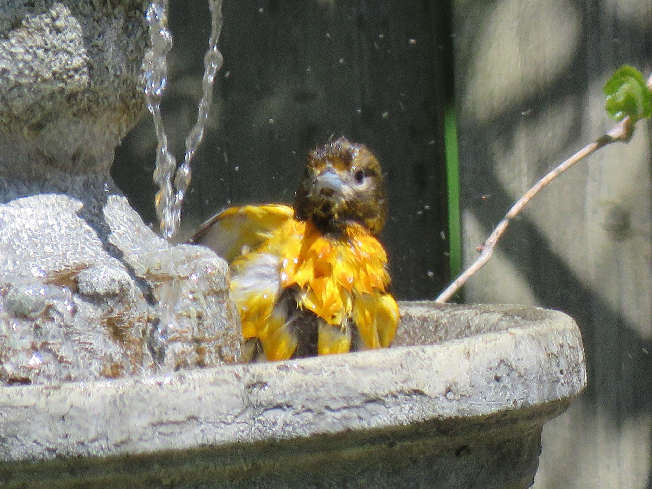 Baltimore Oriole splashing in our fountain!