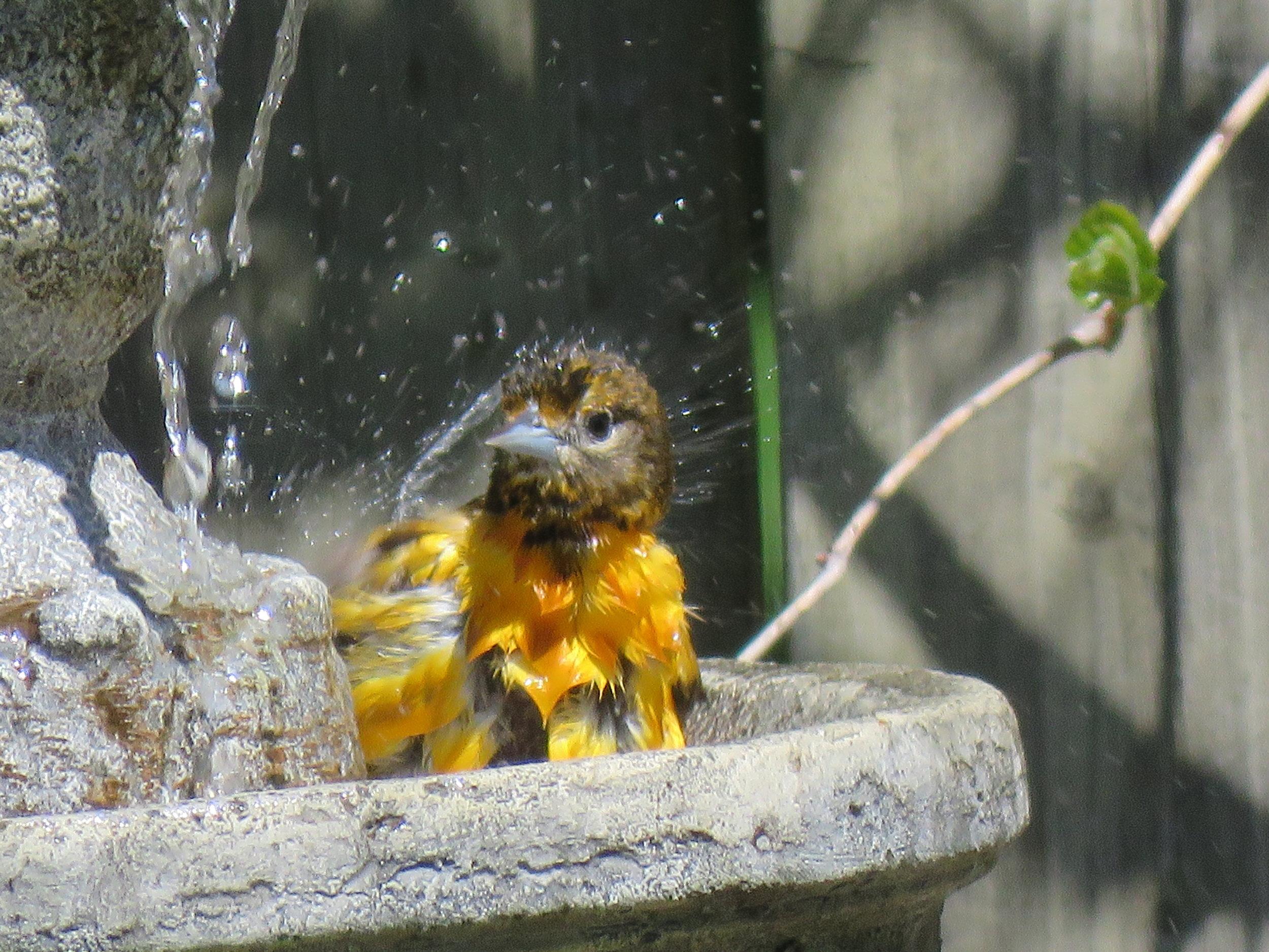 Baltimore Oriole enjoying our fountain