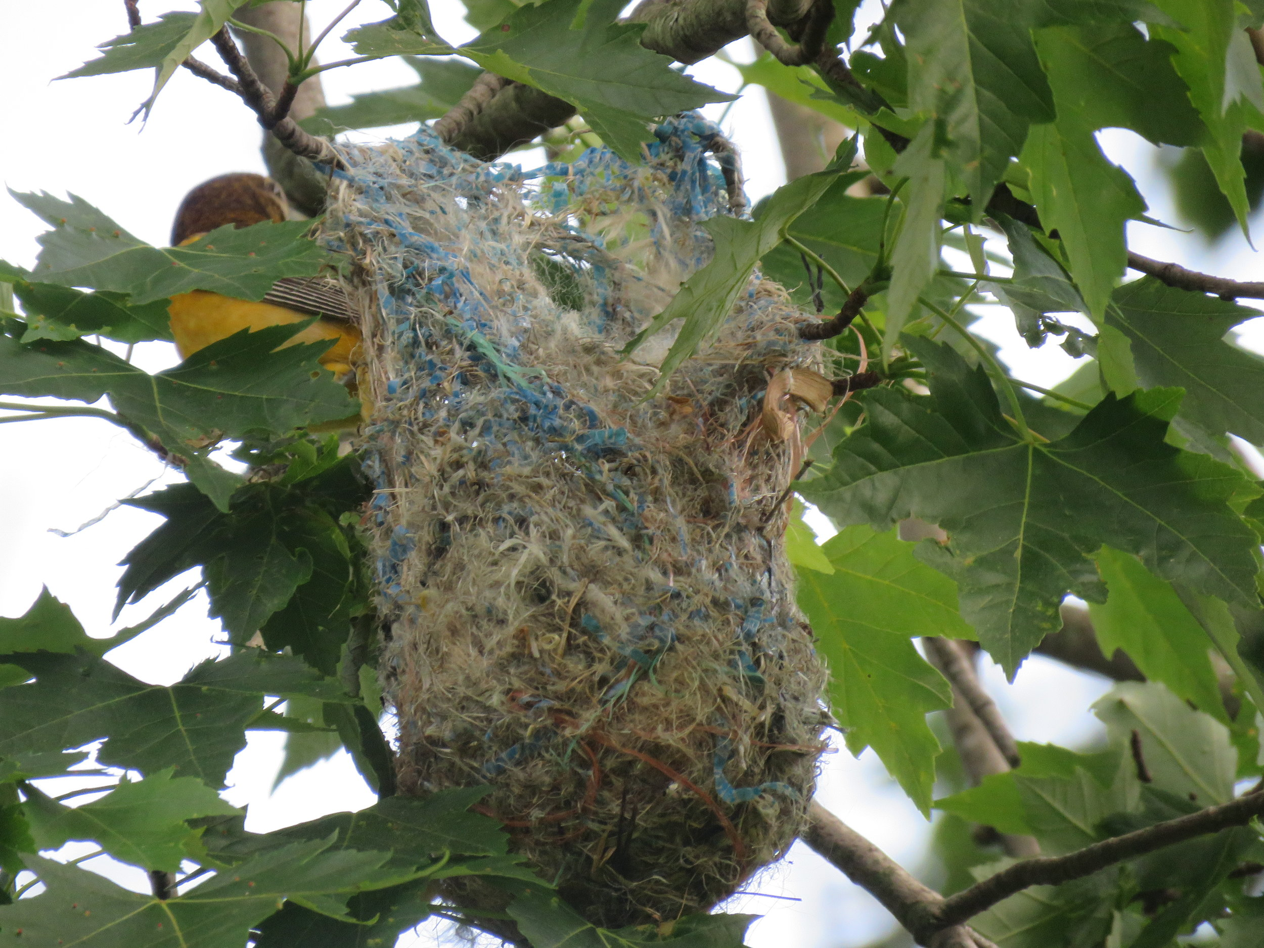 F Baltimore Oriole at nest