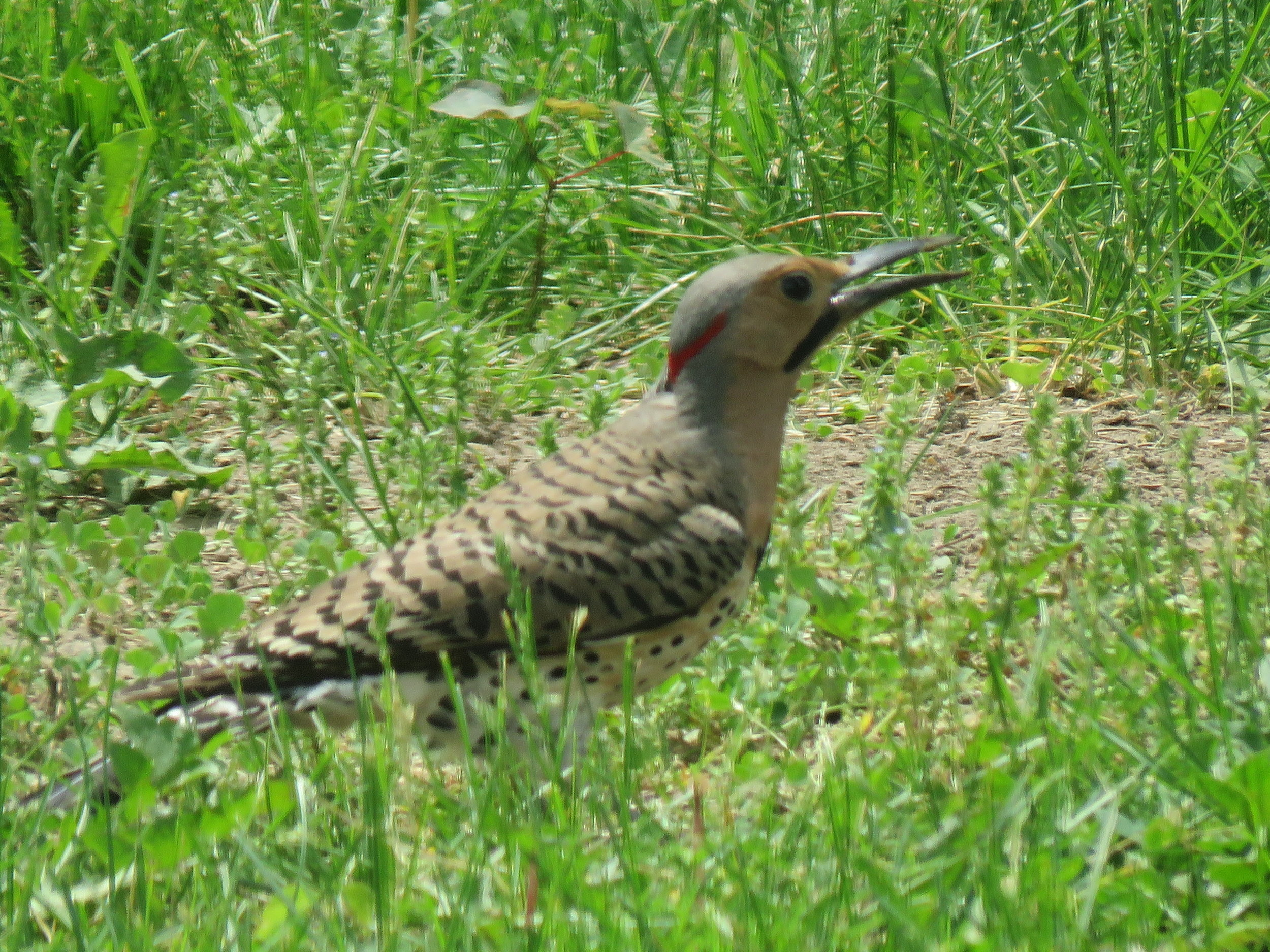 Northern Flicker in our yard