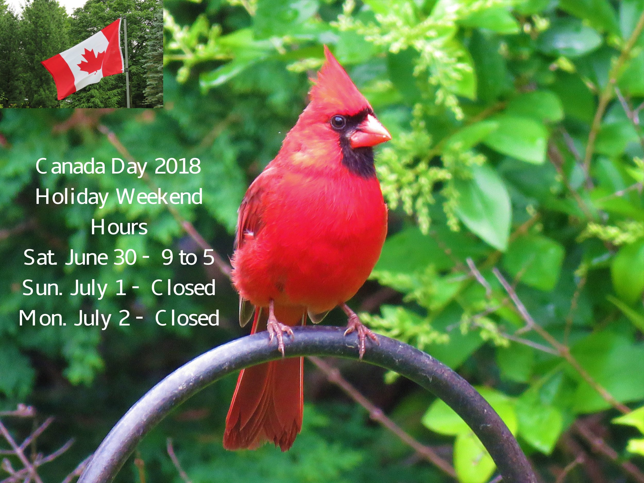 Thanks to Mr Cardinal for visiting at the perfect time and showing off his beautiful red!