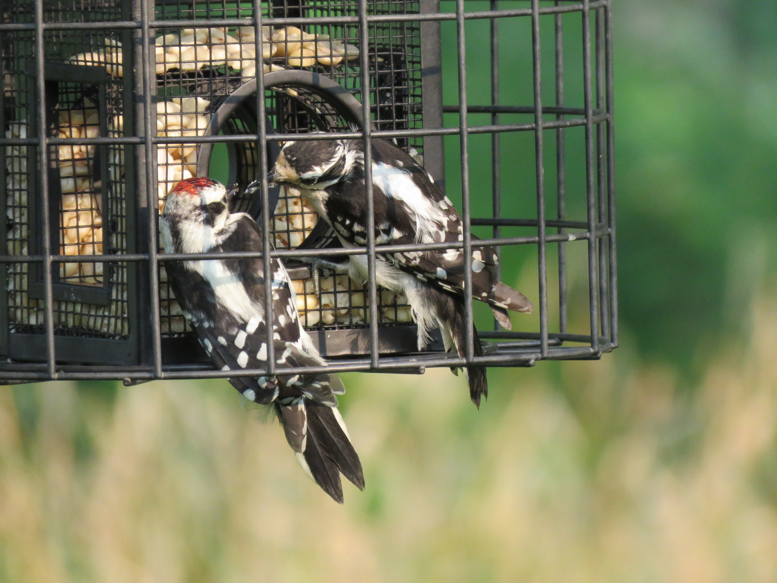Learning about this feeder thing from mom...Downy Woodpeckers
