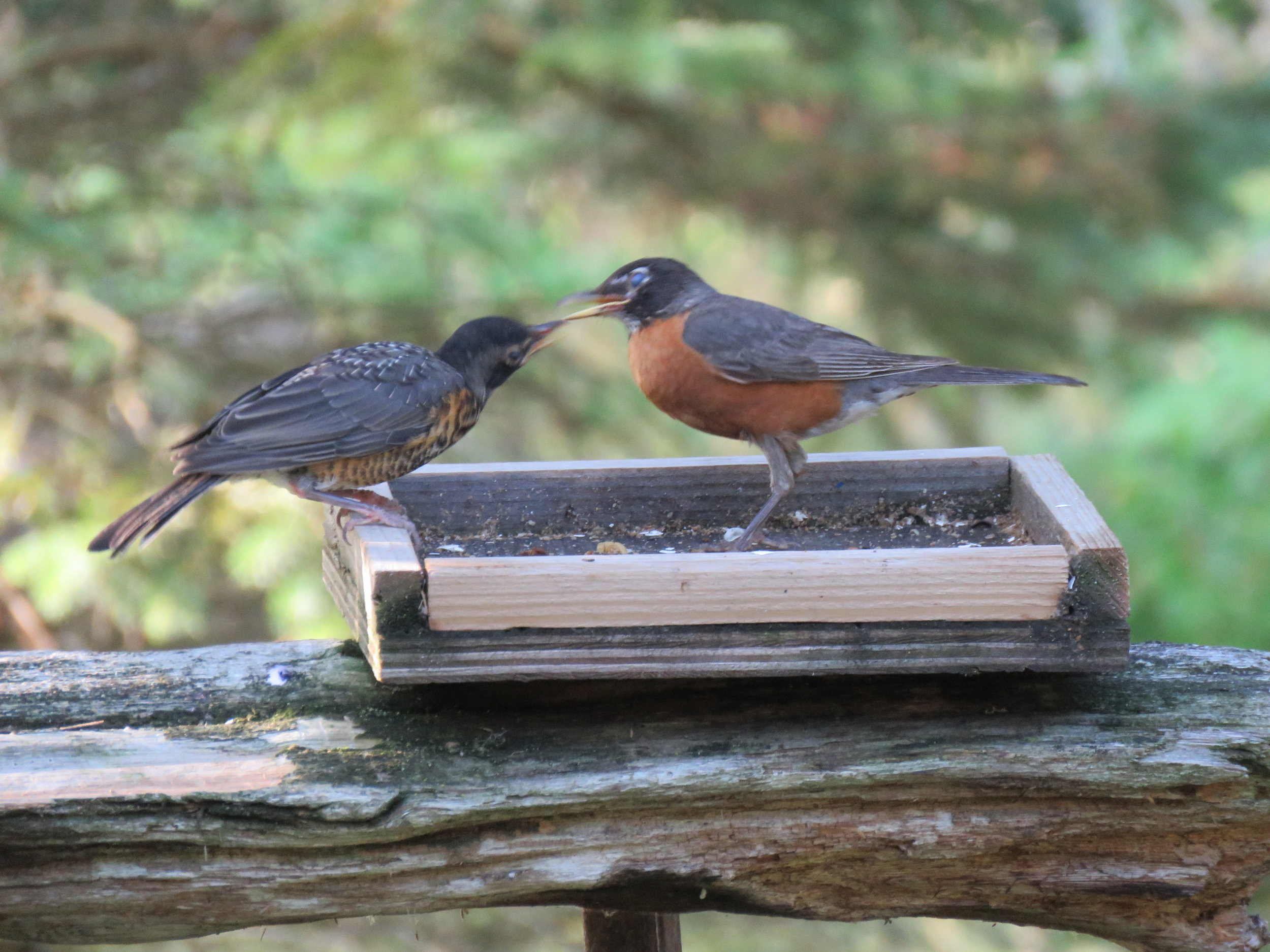 American Robins captured in our garden July 15 2018