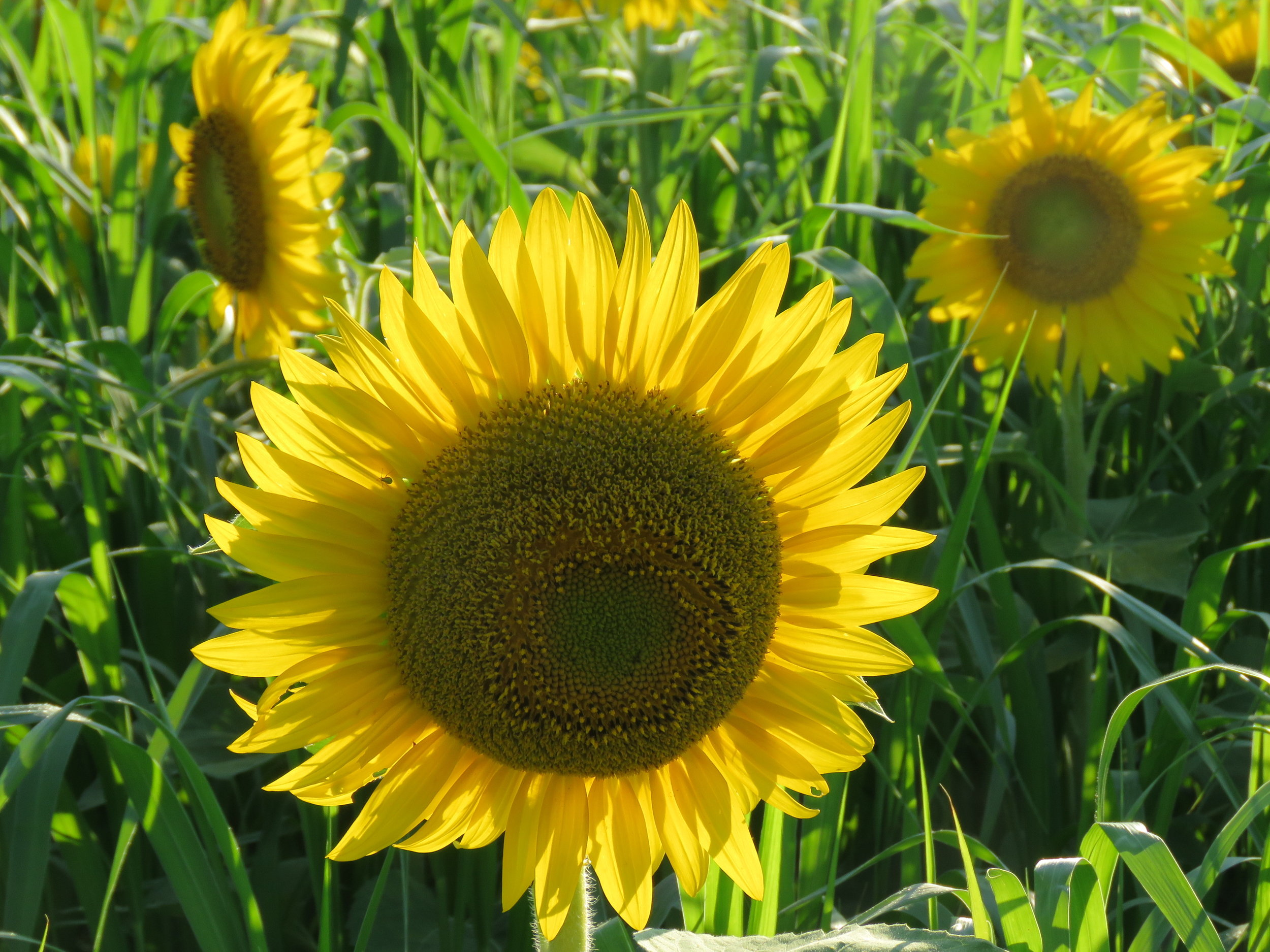 Beautiful field of Black Oil Sunflowers!