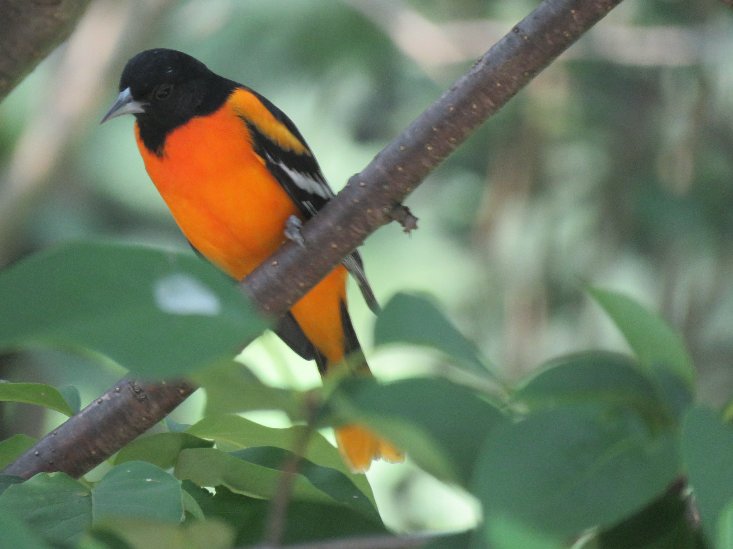 Baltimore Oriole waiting for a spot at our feeder!