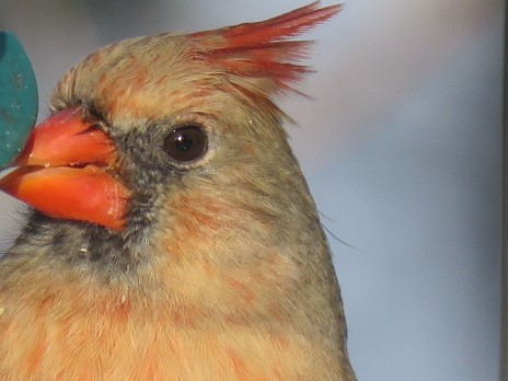 Mrs. Cardinal filling up on the Safflower Seed