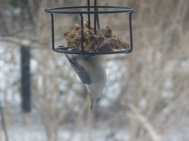 White-breasted Nuthatch Feb. 26 2019