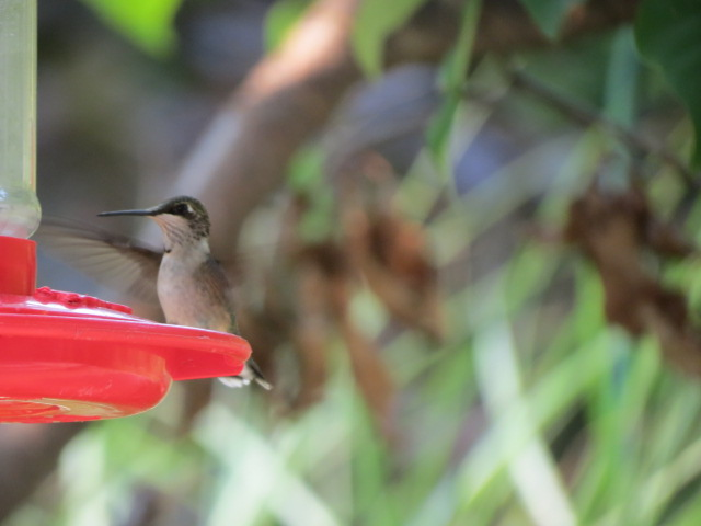 Ruby-throated Hummingbird in our garden September 2018.  This feeder,  and so many others, available here at 1830 Gainsborough Road, London, Ontario