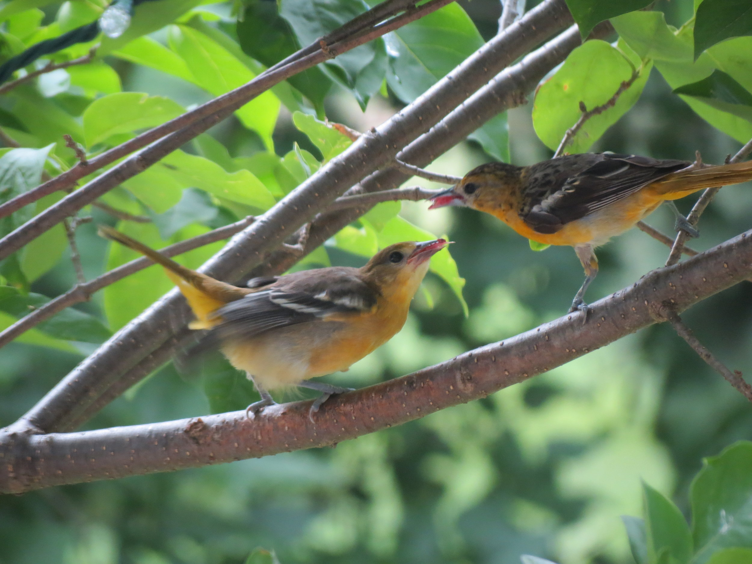 Photo from a previous year,    taken on July 8th    - it won't be long until the Oriole families show up around your feeders if they have been nesting nearby!
