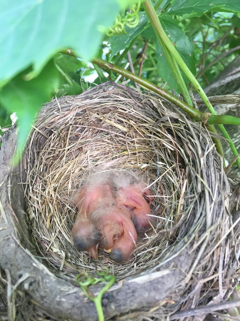 robin nest july 2019.jpg