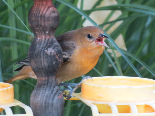 Orioles and Hummingbirds continue to entertain - keep feeders out for them!