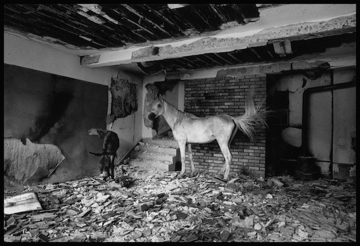 The Albanian quarter of Peja, destroyed by Serb military or paramilitary forces shortly after NATO commenced their bombing campaign. Kosovo. Gilles and I saw this horse and donkey over several weeks as we crisscrossed the area. The first time we saw them was a moment after I had asked Gilles why every Magnum photographer had a photograph of a white horse in a distressed environment in their portfolio. Gilles did not photograph this horse.