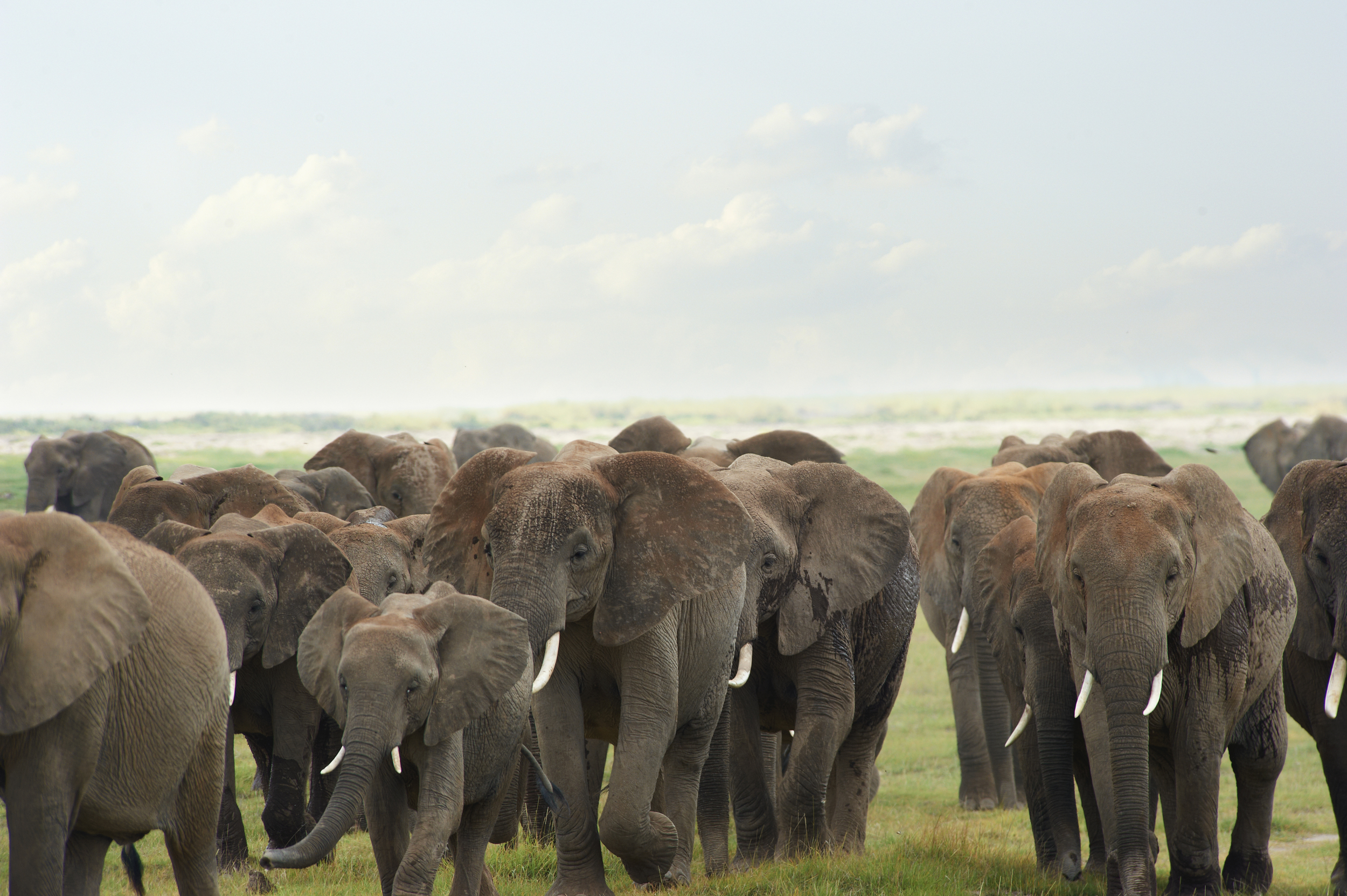 African Elephants and poaching