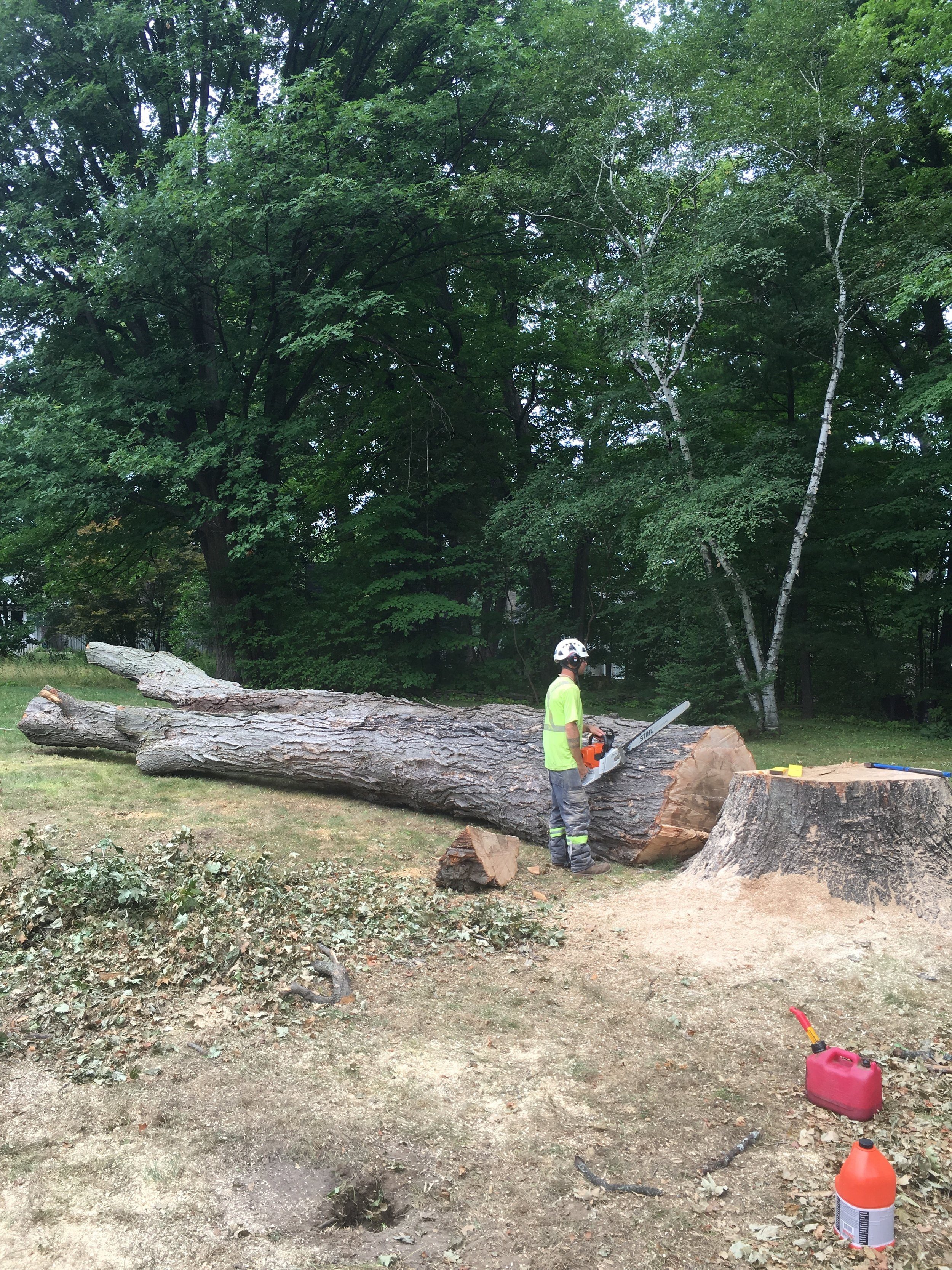 The stem of the Midland sugar maple, finally on the ground.