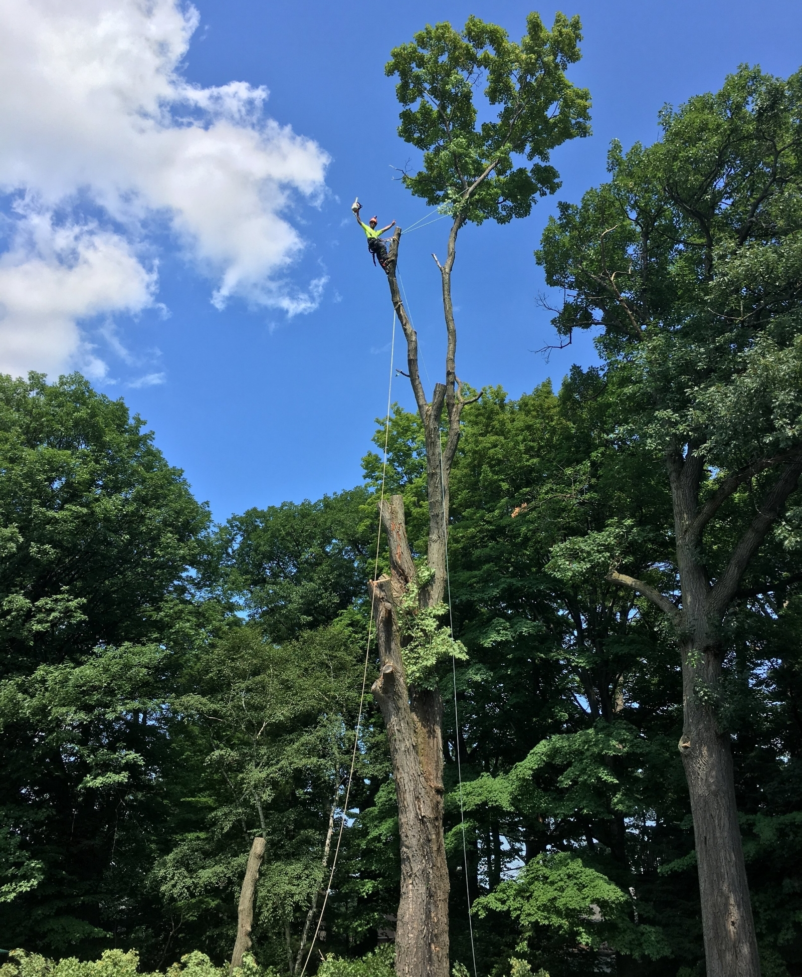 Massive sugar maple removal in Midland.  Arborist is at approximately 80' in this photo making the final cuts.