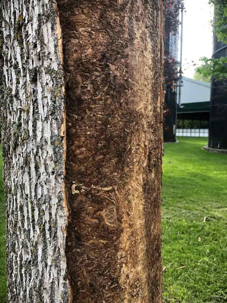 Emerald Ash Borer Damage Minesing