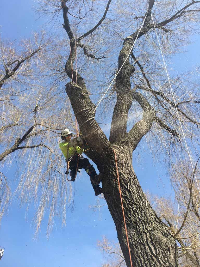 Pruning-Large-Willow-Wonderland