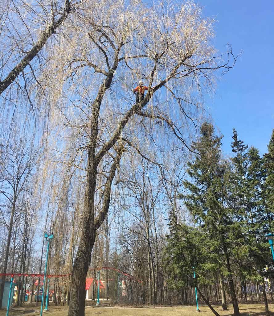 Arborist-Deadwooding-Willow