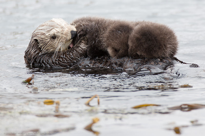 Otters spend most of their time at sea, mating, raising young, eating, and sleeping there. These pups can't sink or dive yet. Image ©  PDTillman
