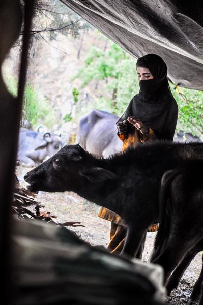 Bashi, under the tarp with a calf
